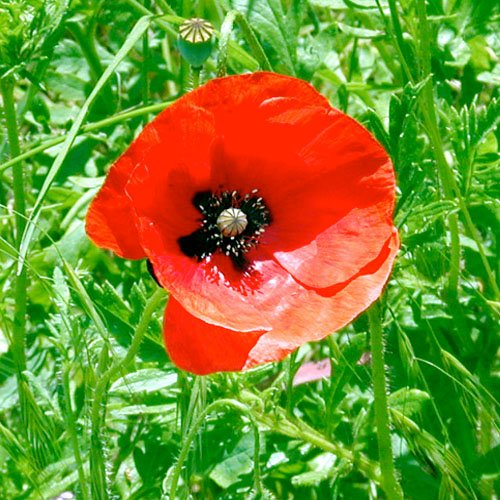"1,000 Seeds, Red Poppy ""Corn Poppy"" (Papaver rhoeas) Seeds By Seed Needs"