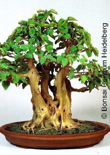 tropica-200-seeds-bodhi-tree-ficus-religiosa