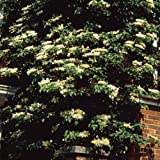 ツルアジサイ(蔓紫陽花)3号ポット6株セット[つる性植物 壁面緑化や立木に!]