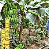 国華園 果樹苗 トロピカルフルーツ バナナ 三尺バナナ 1株