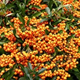 1 X PYRACANTHA 'ORANGE GLOW' EVERGREEN SHRUB HARDY GARDEN PLANT IN POT