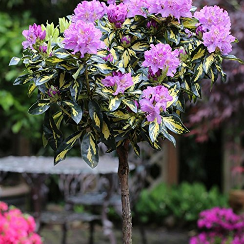 rhododendron-stamm-lila-bluhend-1-pflanze