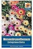 Mesembryanthemum Livingstone Daisy