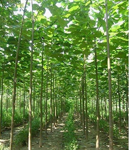 nuovi-semi-paulownia-elongata-nuova-semi-di-albero-della-foresta-200seeds-pack-rapida-crescita-impia