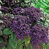 Fragrant Marine Heliotrope 50 Seeds