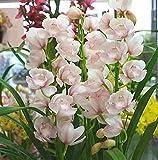シンピジューム鉢植え ピンク 4本立ち
