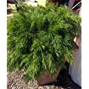 'Cousin Itt' Plant - Acacia cognata - Indoors or Out - 4