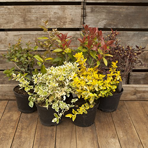 hardy-evergreen-shrub-collection-with-6-varieties-in-1-litre-pots