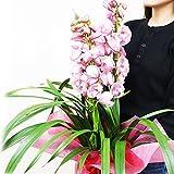 シンビジウム シンビジューム 豪華3本立以上 ピンク系色 鉢植え 洋蘭 蘭 お祝い ギフト