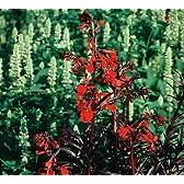 宿根草 ロベリア クイーンビクトリア 10.5センチポット 24苗セット