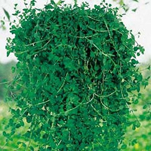 pennyroyal-mint-35-seed-keep-bugs-away-the-natural-way-deters-fleas-mice-more