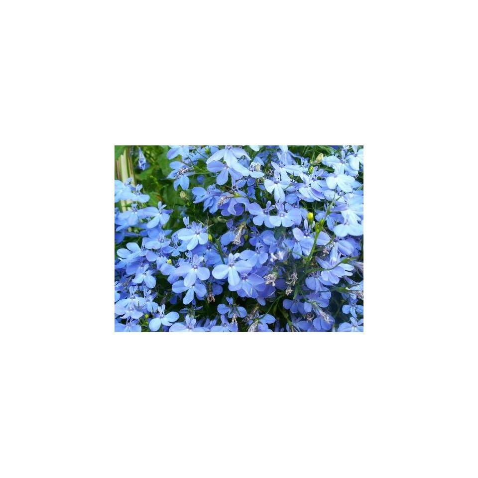 200 Sky Blue Lobelia Regatta Lobelia Erinus Flower Seeds On Popscreen