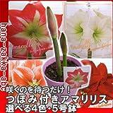 【開花保証】 つぼみ付きアマリリス 5号鉢 選べる4色 【花苗】 (赤/白)