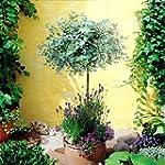 Eucalyptus Standard Anti Moustique -...