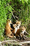 Red Fox Kits Playing Close To Their Den During Summer In Alaska Poster Print (22 x 34)