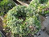 """Succulent Living Wreath - 15"""""""