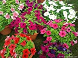 Petunia grandiflora 5 colors differently pack, 100 seeds each by Divya Seeds (violet, pink, red, white and star)