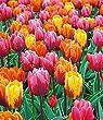 """BALDUR-Garten Tulpe """"Princess-Mix"""", 9 Zwiebeln Tulipa"""
