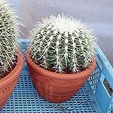 サボテンの王様:金シャチ[キンシャチ・金鯱]8号素焼き鉢植え