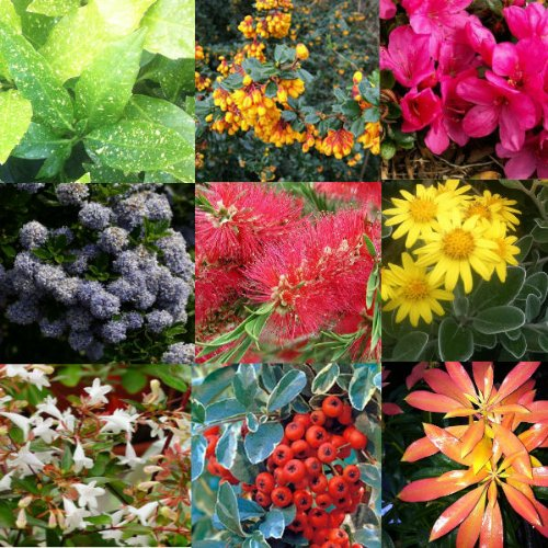 mixed-plant-collection-of-5-established-evergreen-shrubs-in-9cm-pots-evergreen-garden-shrub-plant