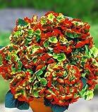 BALDUR-Garten Freiland-Hortensien Hovaria® 'Hobella', Hydragena macrophylla, 1 Pflanze