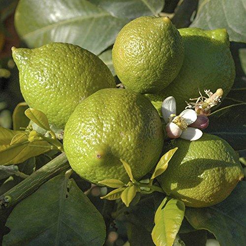 citrus-lime-tree-12m-tall
