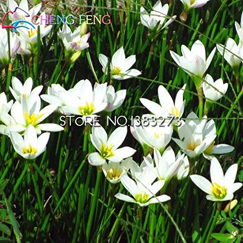 Graines 50pcs A Lot Zephyranthes Candida (oignon Orchid Bulb) Mini Facile plantation Balcon Fun Indoor Flower Pots Seed