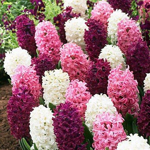 Valentine Mix Hyacinth 10 Bulbs - SUPER VALUE - Fragrant - 15/16 cm Bulbs (Fragrant Flower Bulbs compare prices)