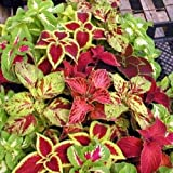OMAXE COLEUS RAINBOW MIXED VARIETY !!SOLD BY RAUNAK SEEDS, DELHI !! !!AVG 30-50 SEEDS!! X 2 PACKETS SEEDS COMBO