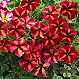 Heirloom Hanging Petunia Mixed Seeds Ga 100 Pcs / Pack Very Beautiful Garden Flowers Light Up Your Yard Ornamental...