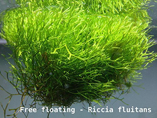 crystalwort-riccia-fluitans-live-floating-or-carpeting-plants-10g-portion