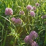 Wildflower - Wild Red Clover - 1500 Seeds