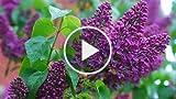 How to make lilacs and hydrangeas last longer