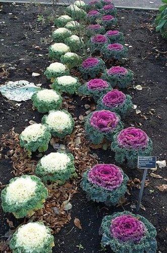 60 Ornamental Kale Mixed Colors Brassica Oleracea Flower Seeds
