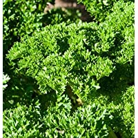 Herb Parsley Moss Curled II D3512A (Green) 200 Seeds by David's Garden Seeds