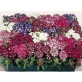 VERBENA HYBRID VARIETY FLOWER SEEDS BY KRAFT SEEDS [PACK OF 20]