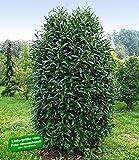 BALDUR-Garten Säulen-Kirschlorbeer 'Genolia®',1 Pflanze
