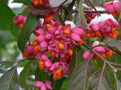 Eastern Wahoo Burning Bush, Euonymus Atropurpurea 3 Seeds