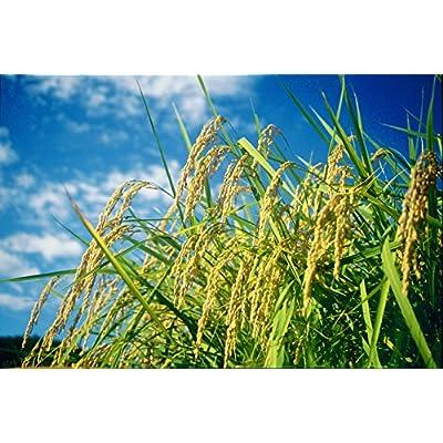 【精米】新潟県北越後産 特別栽培米白米こしひかり5kg平成26年産