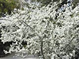 Tree Seeds Online - Prunus Spinosa - 1 Packs