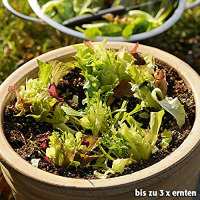 balkon ideen winterharte asia salate im blumenkasten ziehen. Black Bedroom Furniture Sets. Home Design Ideas