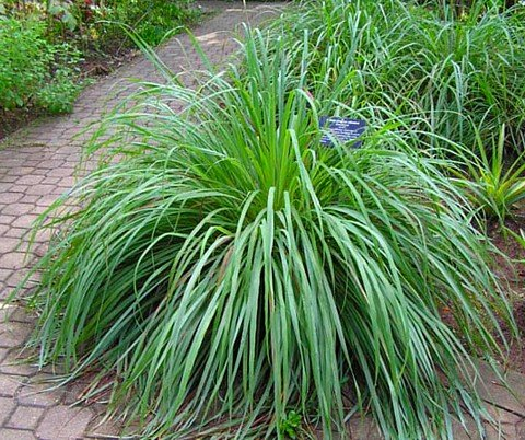 Lemon Grass Plant – Must Have Herb! – Cymbopogon – 4″ Pot ...