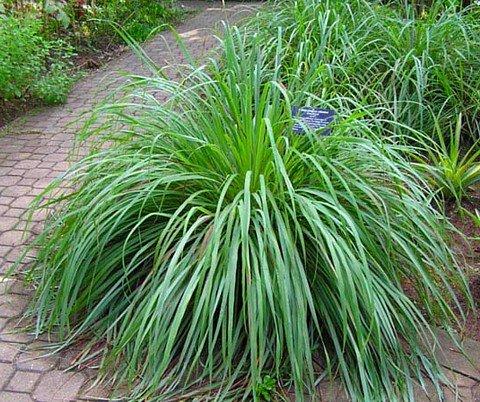 Lemon Grass Plant – Must Have Herb! – Cymbopogon – 4″ Pot ...