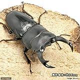 (昆虫)国産オオクワガタ 山梨県韮崎市産 幼虫(初~2令)(3匹) 本州・四国限定[生体]