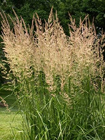 Feather Reed Karl Foerster: Well Established: Container Size: #1