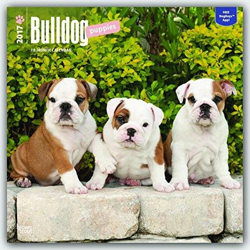 Bulldog Puppies 2017 Square (Multilingual Edition) (French Bulldog Puppies Calendar compare prices)