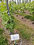 611Wg0B7 eL. SL160  Growing Grass and Weeds Between Vine Rows, Vineyard of the Civc at Plumecoq, Cote Des Blancs Photographic Poster Print by Per Karlsson, 30x40