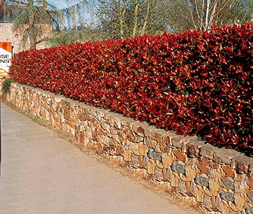 3-photinias-red-robin