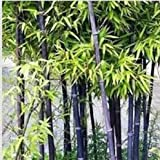 (BSZ#200) 200pcs/lot Factory Wholesale Fresh Bamboo Seeds Zizhu Seed Multi Color Bamboo