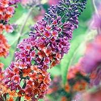 Bicolor Butterfly Bush - Buddleia - NEW - Quite Distinct - 3
